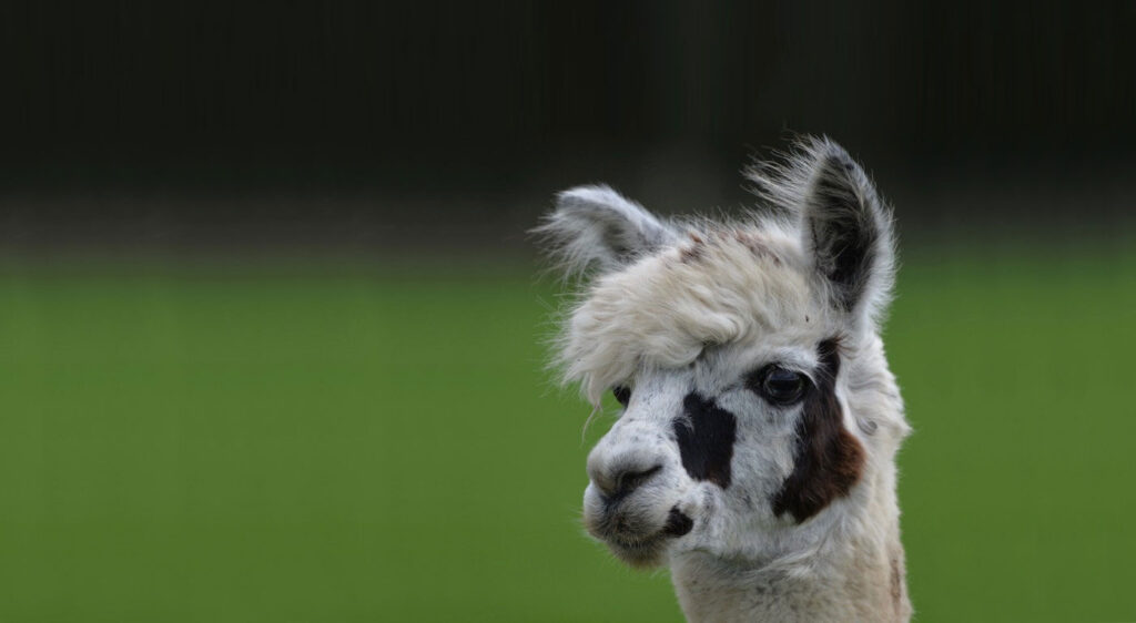 White and brown alpaca against a green background