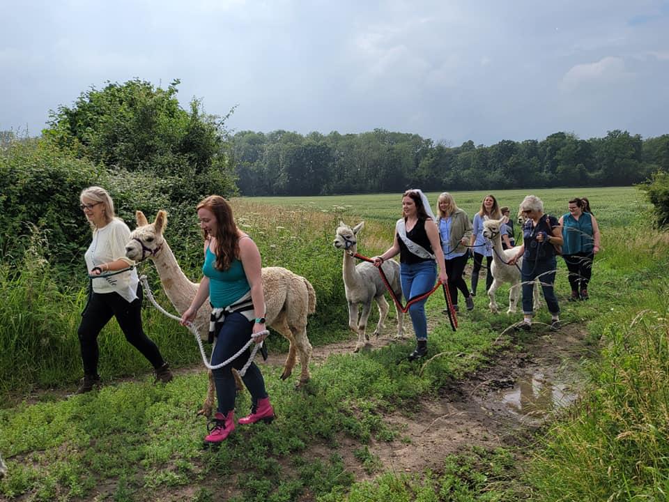 Group of people walking alpacas on a field