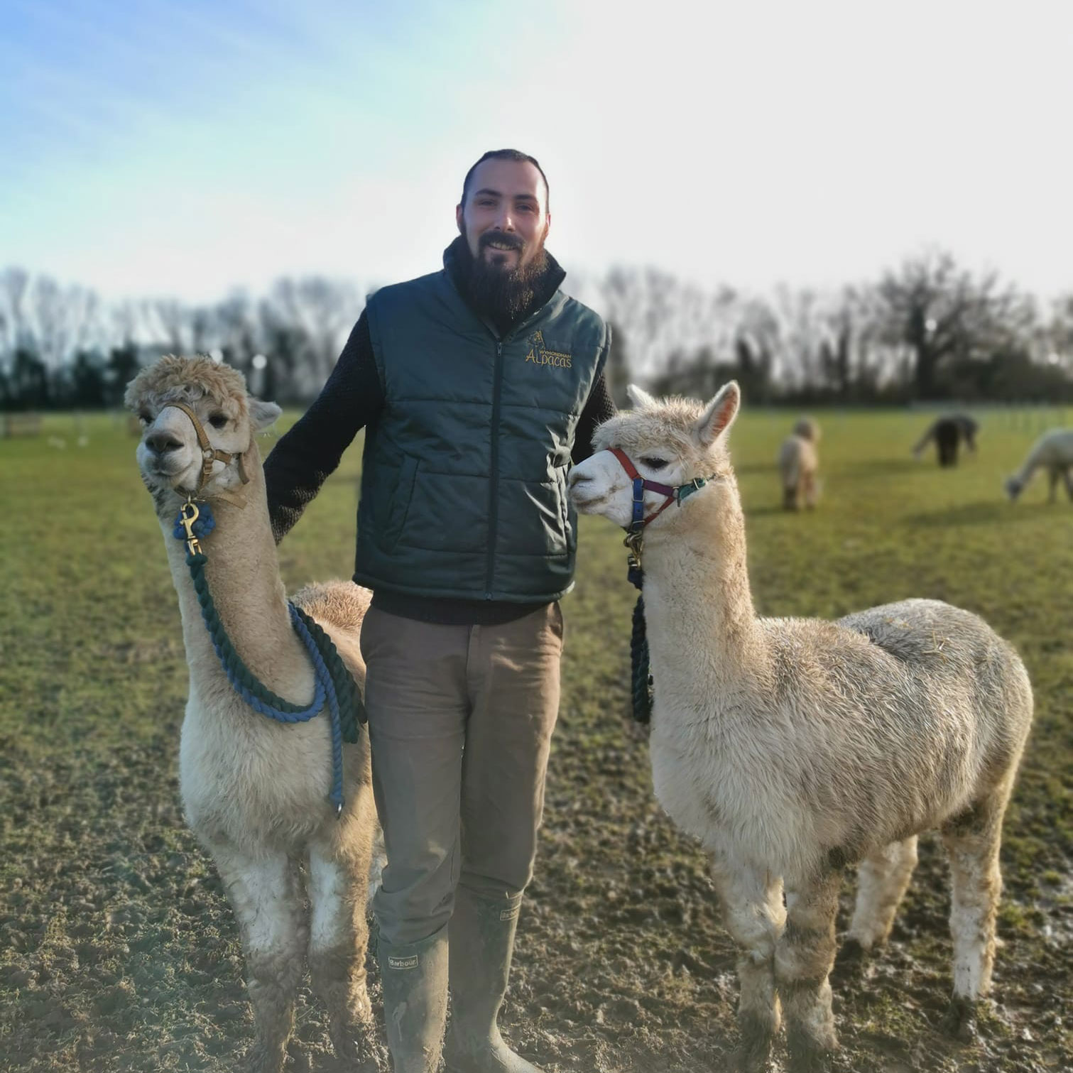 Man standing with two alpacas