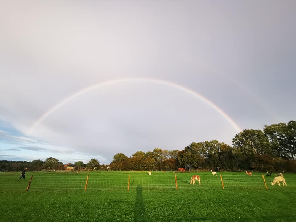 Rainbow over field of alpacas